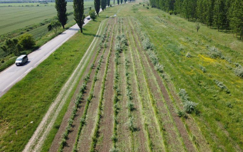 Viitoare perdea forestieră la marginea drumului național, Comuna Chirnogi